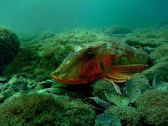 Подводните обитатели на Черно море