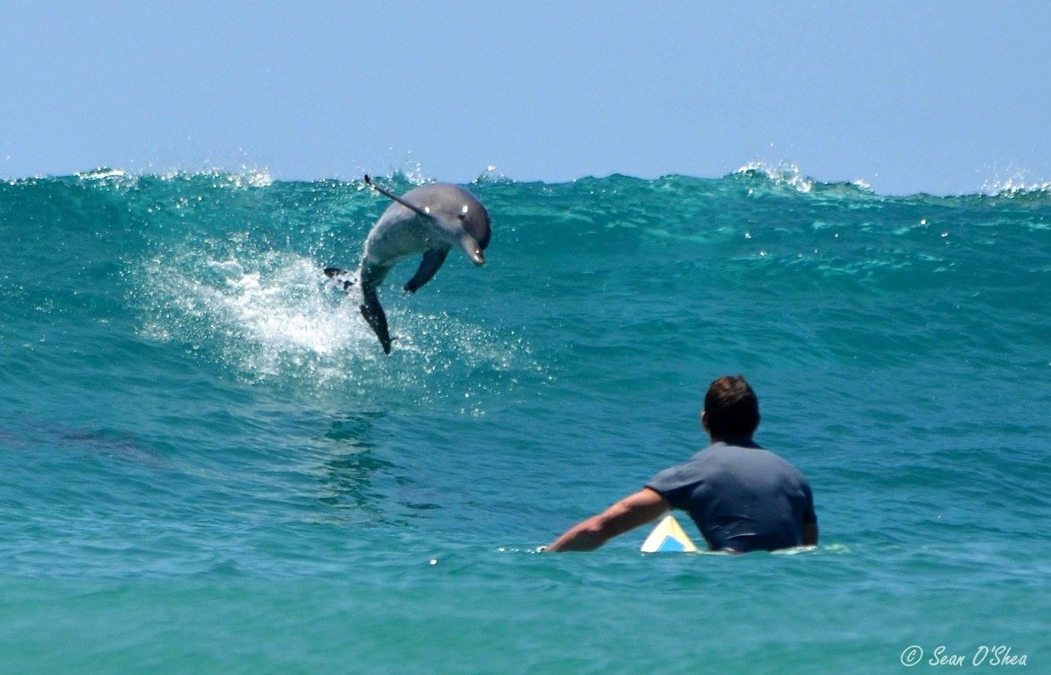 8 снимки на делфини и сърфисти порещи вълните заедно
