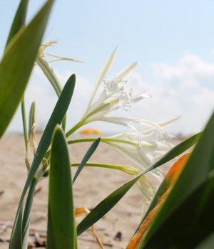 Пясъчната лилия - кралицата на цветята