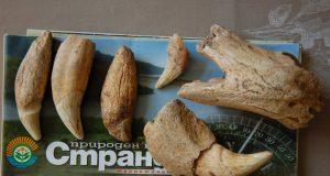 Откриха останки от пещерна мечка в Странджа