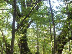"""Ръководството на Природен парк """"Странджа"""" предлага да бъдат защитени вековни дървета"""