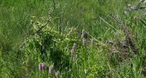 Учени откриха два нови вида диви орхидеи в Странджа