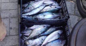 Паламудът изненадващо се завърна, рибарите спускат спешно лодките си на вода